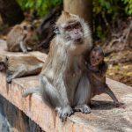 macaque-femelle
