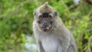 singe-tirant-la-langue